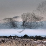 Starlings murmuration at Ham Wall nature reserve