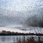 Starlings murmuration at Shapwick Heath Nature Reserve