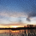 Sunset with a sky full of starlings